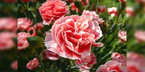 EL CLAVEL. Nuestra Flor del mes de Junio.