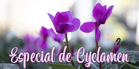 Especial Cyclamen